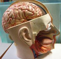 BrainModel